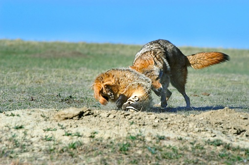 Animals Hunting「Coyote and badger fight over prey」:スマホ壁紙(12)
