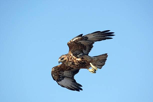 Galapagos hawk in flight blue sky:スマホ壁紙(壁紙.com)