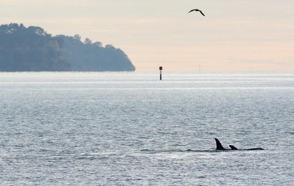 Killer Whale「Orca Whales Off St Heliers Bay In Auckland」:写真・画像(9)[壁紙.com]