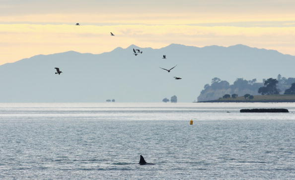 Killer Whale「Orca Whales Off St Heliers Bay In Auckland」:写真・画像(18)[壁紙.com]