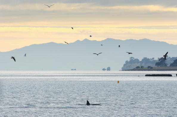 Killer Whale「Orca Whales Off St Heliers Bay In Auckland」:写真・画像(1)[壁紙.com]
