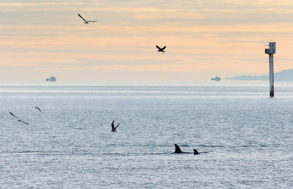 Killer Whale「Orca Whales Off St Heliers Bay In Auckland」:写真・画像(12)[壁紙.com]