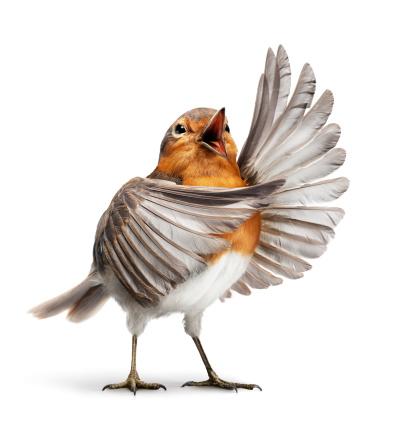 Humor「Opera bird 1」:スマホ壁紙(19)