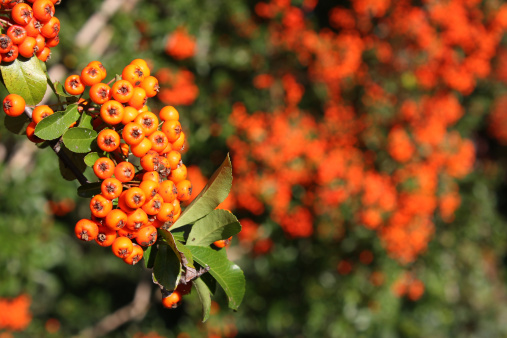 Rowanberry「sea buckthorn」:スマホ壁紙(10)