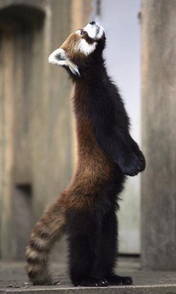 千葉県「Lesser Panda Stands On Hind Legs In Japan Zoo」:写真・画像(0)[壁紙.com]