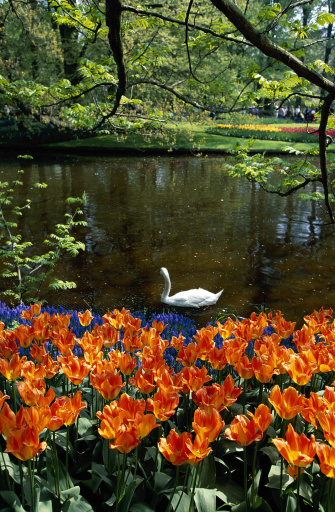 Keukenhof Gardens「Swan on pond, Holland」:スマホ壁紙(1)