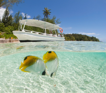 French Overseas Territory「Butterfly fish (chaetodon sp.), Moorea Lagoon」:スマホ壁紙(6)