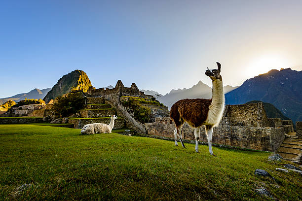 Llamas at first light at Machu Picchu, Peru:スマホ壁紙(壁紙.com)