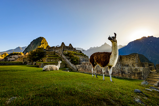 UNESCO World Heritage Site「Llamas at first light at Machu Picchu, Peru」:スマホ壁紙(6)