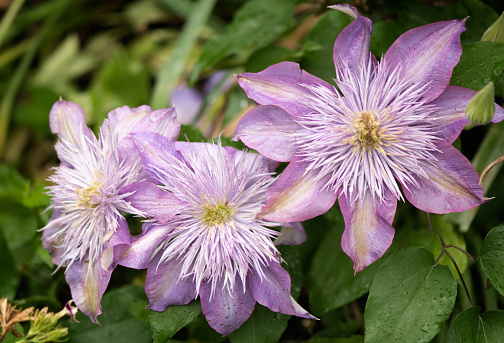 flower「Clematis 'Crystal Fountain''」:スマホ壁紙(8)