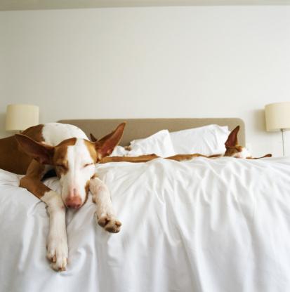 Duvet「Ibizan hounds sleeping on bed」:スマホ壁紙(13)