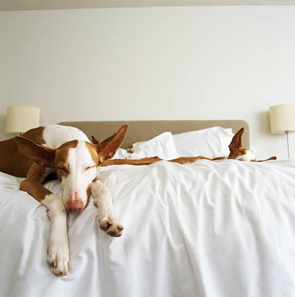 Ibizan hounds sleeping on bed:スマホ壁紙(壁紙.com)