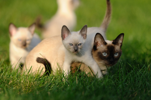 子猫「Young Siamese cats in grass」:スマホ壁紙(2)