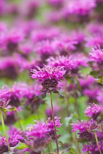 Bergamot「Bee Balm (Monarda) - I」:スマホ壁紙(19)
