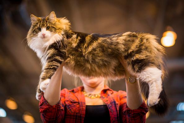 Kitten「The Feline World Gathers For The Supreme Cat Show 2015」:写真・画像(18)[壁紙.com]