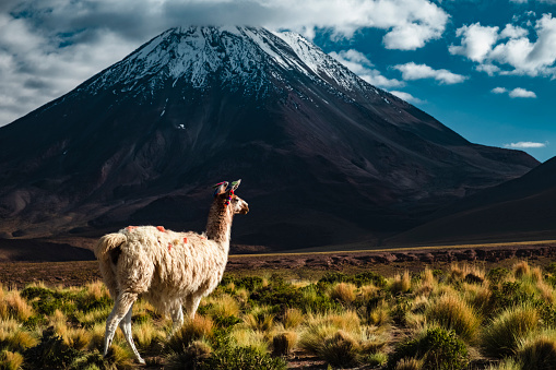 Vicuna「Cordilherias of the Andes, Atacama Desert in Chile」:スマホ壁紙(18)