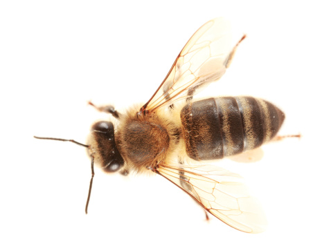 Efficiency「Isolated  honeybee」:スマホ壁紙(9)