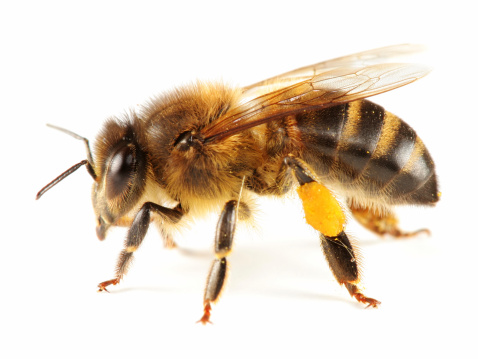 Zoology「Isolated  honeybee」:スマホ壁紙(3)