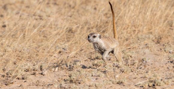 Kalahari Desert「Meerkat running, Kgalagadi Transfrontier Park, South Africa」:スマホ壁紙(6)