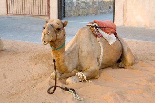 Pack Animal「Sitting camel, facing camera. United Arab Emirates」:スマホ壁紙(19)