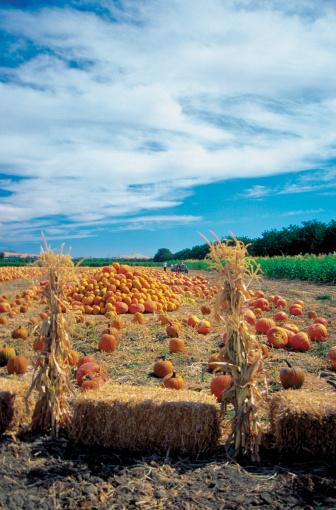ハロウィン「Pumpkin Patch in Suisun in Napa Valley, California, USA」:スマホ壁紙(13)