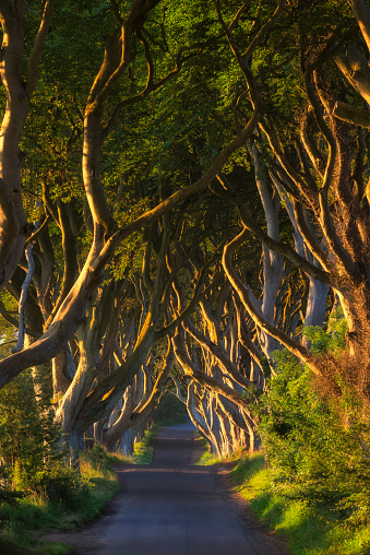 Avenue「Northern Ireland, near Ballymoney, alley and beeches, known as Dark Hedges」:スマホ壁紙(15)