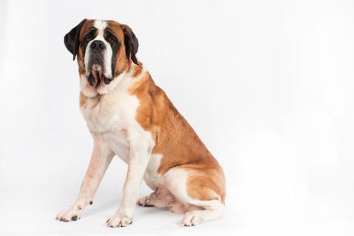 St「St. Bernard dog」:スマホ壁紙(5)