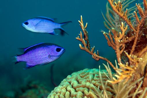 熱帯魚「Two blue chromis swimming in the Atlantic Ocean, Key Largo, Florida.」:スマホ壁紙(8)