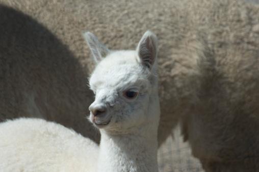 Alpaca「Baby llama」:スマホ壁紙(16)