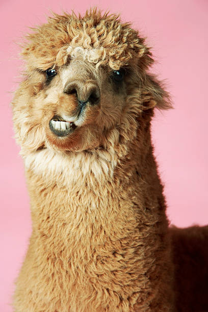Baby Llama:スマホ壁紙(壁紙.com)
