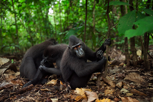 Grooming - Animal Behavior「Black crested or Celebes crested macaque juvenile watching with curiosity while others groom」:スマホ壁紙(3)