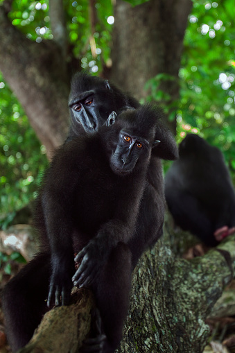 Grooming - Animal Behavior「Black crested or Celebes crested macaques sitting on a fallen tree」:スマホ壁紙(1)