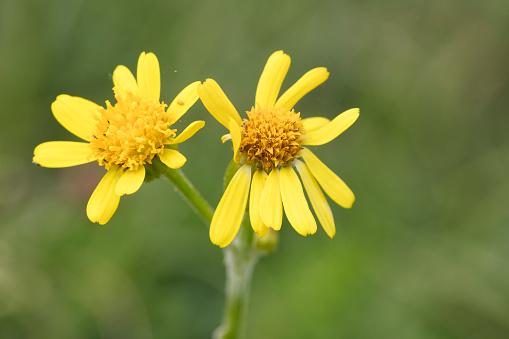 花「Field Fleawort (Tephroseris integrifolia ssp. integrifolia )」:スマホ壁紙(9)