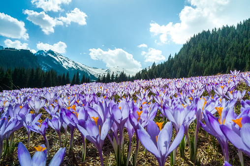 Crocus「Blooming crocuses field on a mountain meadow in spring (Tatra Mountain, Poland)」:スマホ壁紙(6)