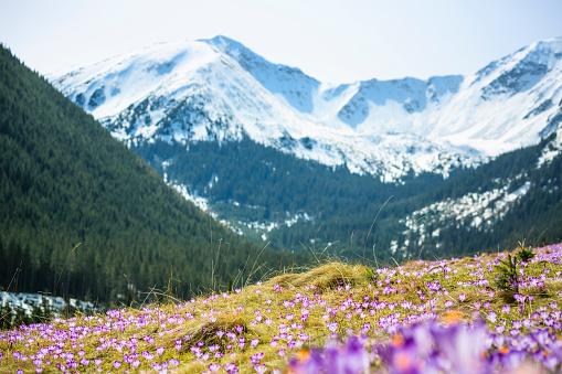 Crocus「Blooming crocuses on a mountain meadow in spring (Tatra Mountain, Poland)」:スマホ壁紙(18)
