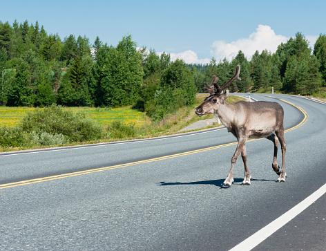 Finnish Lapland「Finland, Lapland, road to Rovaniemi, reindeer crossing the street」:スマホ壁紙(16)