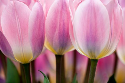 Keukenhof Gardens「Tulip Close-up Keukenhof Gardens」:スマホ壁紙(8)