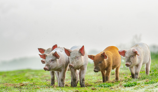 Denmark「4 different colours piglets standing in front of the photographer」:スマホ壁紙(2)