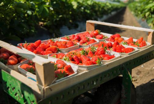 Harvesting「Germany, Hesse, Lampertheim, pallet of strawberries」:スマホ壁紙(7)