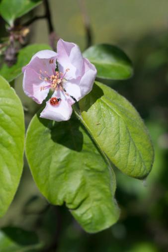 カリン「Germany, Hesse, Quince flower, Cydonia oblonga, and Water Ladybird, Anisosticta novemdecimpunctata」:スマホ壁紙(2)