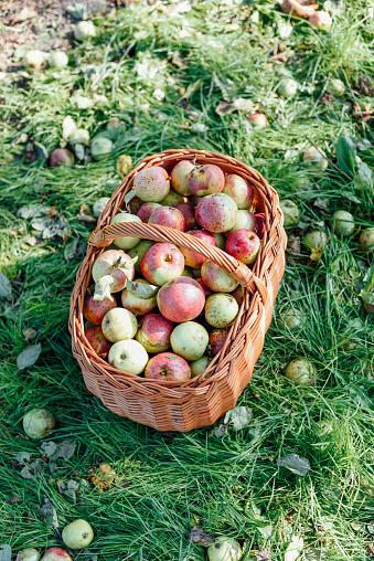 Harvesting「Germany, Hesse, apples in wickerbasket」:スマホ壁紙(18)