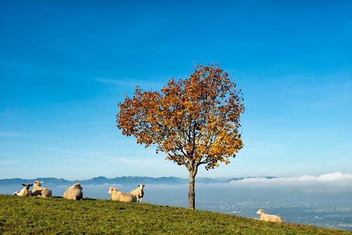 Austria「sheep lying under tree on a hill」:スマホ壁紙(5)