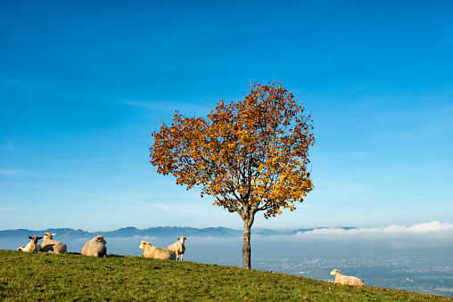 European Alps「sheep lying under tree on a hill」:スマホ壁紙(12)