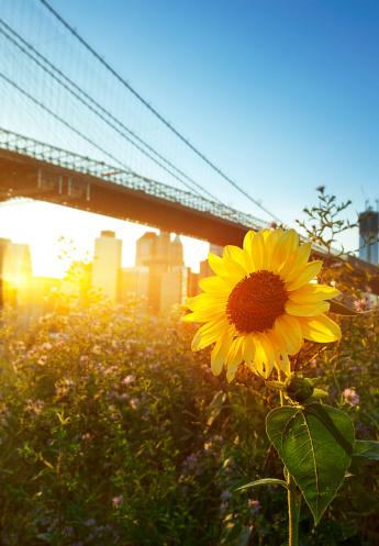 ひまわり「ブルックリン橋の夕暮れ」:スマホ壁紙(12)