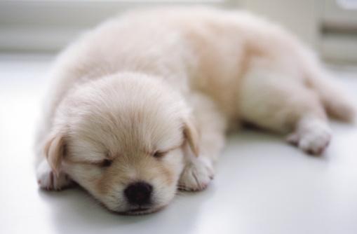横たわる「Puppy sleeping」:スマホ壁紙(3)