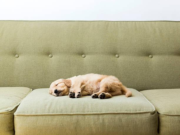 Puppy sleeping on sofa:スマホ壁紙(壁紙.com)