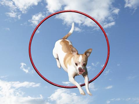 Plastic Hoop「A Chihuahua dog jumping through a red hoop」:スマホ壁紙(10)
