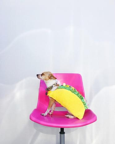 ハロウィン 仮装「Chihuahua dog sitting on a chair dressed in a Taco costume」:スマホ壁紙(8)