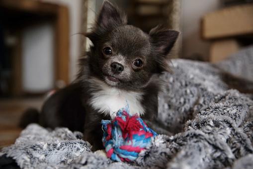 ぬいぐるみ「Chihuahua dog with soft toy」:スマホ壁紙(6)