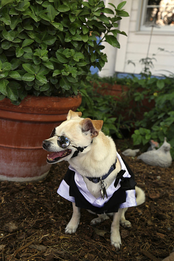 Formal Garden「Chihuahua dog in a tuxedo at a wedding」:スマホ壁紙(7)